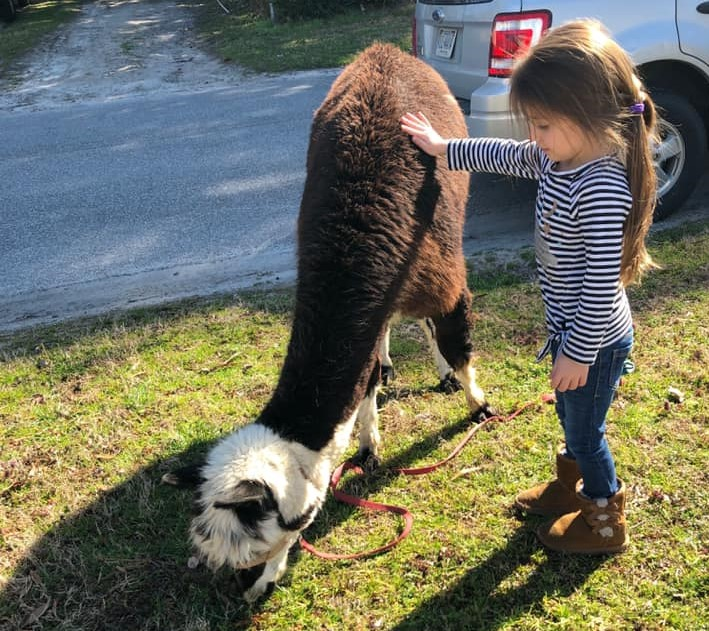 A young girl touching a Llama that is eating grass on their school yards at a Preschool & Daycare Serving Hampton Roads, VA